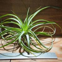 チランジア / ブラキカウロス グリーン (T.brachycaulos 'Green') *A01/Jan14