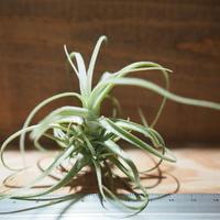 チランジア / ストラミネア ブッシュ S (T.straminea 'Bush') *A01/Mar20