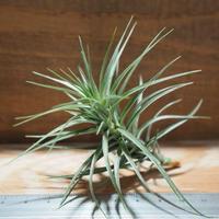 チランジア / テヌイフォリア オープンフォーム (T.tenuifolia 'Open Form') *A01/May12