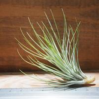 チランジア / アンドレアナ × フンキアナ (T.andreana × T.funkiana) ★タイ農場 *A01/Nov29