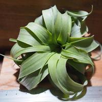 チランジア / ストレプトフィラ × キセログラフィカ (T.streptophylla × T.xerographica) *A01/Oct02-02