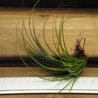 チランジア / グロボーサ (T.globosa)