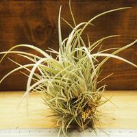 チランジア / ウトリクラータ プリングレイ M (T. utriculata ssp. pringlei) *A02/Se01