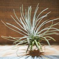 チランジア / プルモーサ (T.plumosa) *A01/May15-02