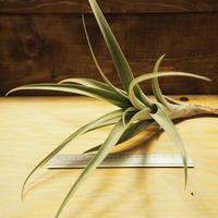 チランジア / ロゼオスカパ Lサイズ (T.roseoscapa) *A02/J07