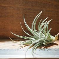 チランジア / スークレイ (T.sucrei) *A01/Dec26-01