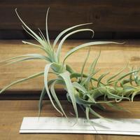 チランジア / ストラミネア トールホワイト (T.straminea 'Tall White')