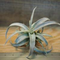 チランジア / チアペンシス S (T.chiapensis) *A01/Dec18
