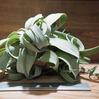 チランジア / ストレプトフィラ XLサイズ (T.streptophylla) *A01/May25