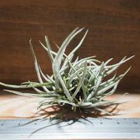 チランジア / クロカータ CL (T.crocata) *A01/ Mar05
