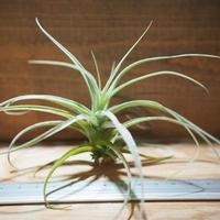 チランジア / ストラミネア ブッシュ S (T.straminea 'Bush') *A01/Jul11