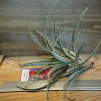 チランジア / カピタータ オレンジ × イオナンタ (T.capitata 'Orange' × T.streptophylla) *A01/Dec23