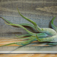 チランジア / カプトメドーサ S (T.caput-medusae) *A02/Dec11