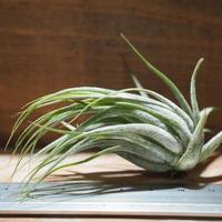 チランジア / コルビー (T.kolbii) *A01/Jan17