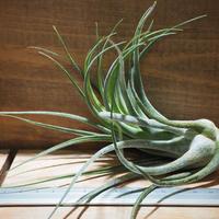 チランジア / セレリアナ × シルシナトイデス (T.seleriana × T.circinnatoides) *A01/Jun19
