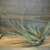 チランジア / カエトフィラ CL (T.chaetophylla) *A01/Dec24