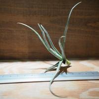チランジア / ライヘンバッキー (T.reichenbachii) *A01/Apr15