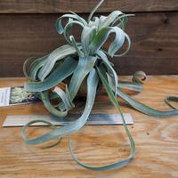 チランジア / ストレプトフィラ カーリータイプ (T.streptophylla) *A02/Se19
