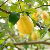 【11月〜3月限定】HOMEMAKERS レモン 1kg(8〜12個)