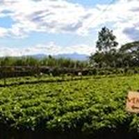 コスタリカ ソノラ農園 ブラックハニー 100g 中煎り