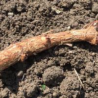 ホップ地下茎 カスケード/Cascade hop rhizome