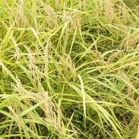 【送料無料】雲潤の里のおいしいお米(H29産 特別栽培米にこまる)5㎏