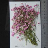 かすみ草 ピンク (着色)