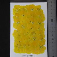 ビオラ 黄 (無着色)