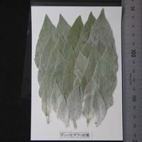 ギンバヒマワリの葉(無着色)