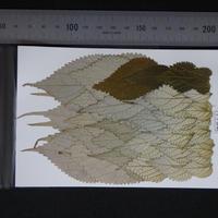 カラムシの葉(無着色)