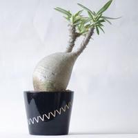 パキポディウム グラキリスPachypodium rosulatum var.gracilius