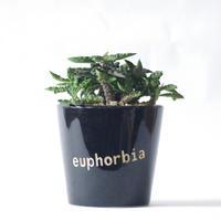ユーフォルビア デカリーちび花キリン Euphorbia decaryi