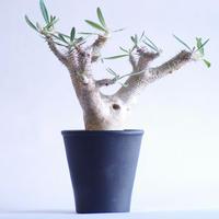 パキポディウム カクチペス Pachypodium rosulatum var.cactipes