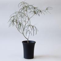 ユーフォルビア ヘディオトイデス Euphorbia hedyotoides