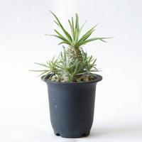 パキポディウム グラキリス Pachypodium rosulatum var.gracilis