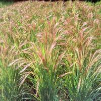 赤米(モチ米) *自然農法*不耕起*手植え*手刈り*天日干し 1kg