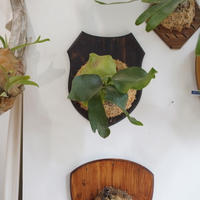 【10/4〜 Plants Session_02】P.hillii spore fl_01