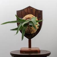 【10/3〜 Plants Session_02】P.willinckii × veitchii 1_41