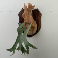 【10/3〜 Plants Session_02】P.willinckii dwarf TATSUTA 1_08