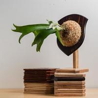 【2021.4/17〜】板付ビカクシダ  P.diversifolium Mr.Pon
