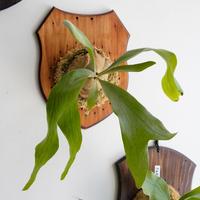【8/28〜板付ビカクシダ】P.patara garden #2