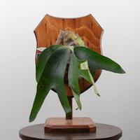 【10/3〜 Plants Session_02】P.willinckii Paul Webber Florida 1_35