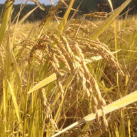 平成30年度 兵庫県丹波市産 農薬化学肥料不使用栽培「旭一号」 玄米 3kg入り 送料込