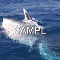 ニタリクジラ(2)