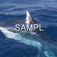 ニタリクジラ(1)
