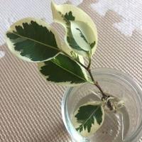 白斑入 ベンジャミンの苗木/金運アップ・幸運・室内の浄化に【送料無料】