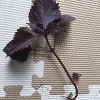 赤シソ(赤紫蘇)の苗を家庭菜園やプランターで育ててみませんか?【3本セット】