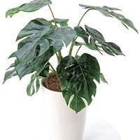 【光触媒 銀配合で空気をきれいに】プレミアム光触媒人工観葉植物 モンステラ