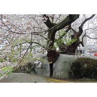 画像データ 石割桜(2)(盛岡)