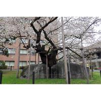 画像データ 石割桜(1)(盛岡)